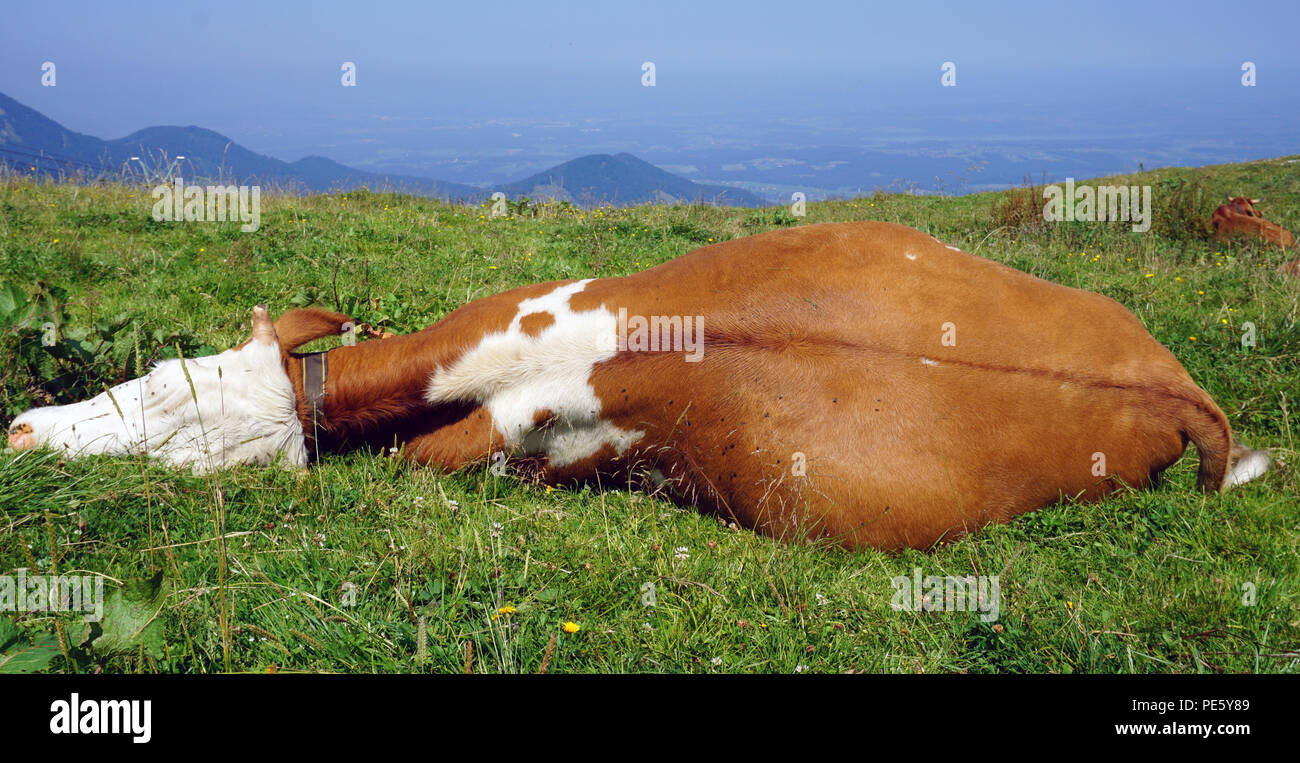 sleeping brown white cow at meadow Stock Photo