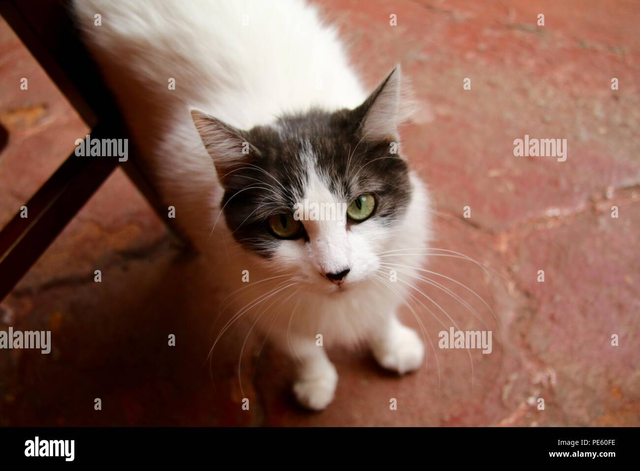 Long haired grey and white cat looking up at you - Stock Image