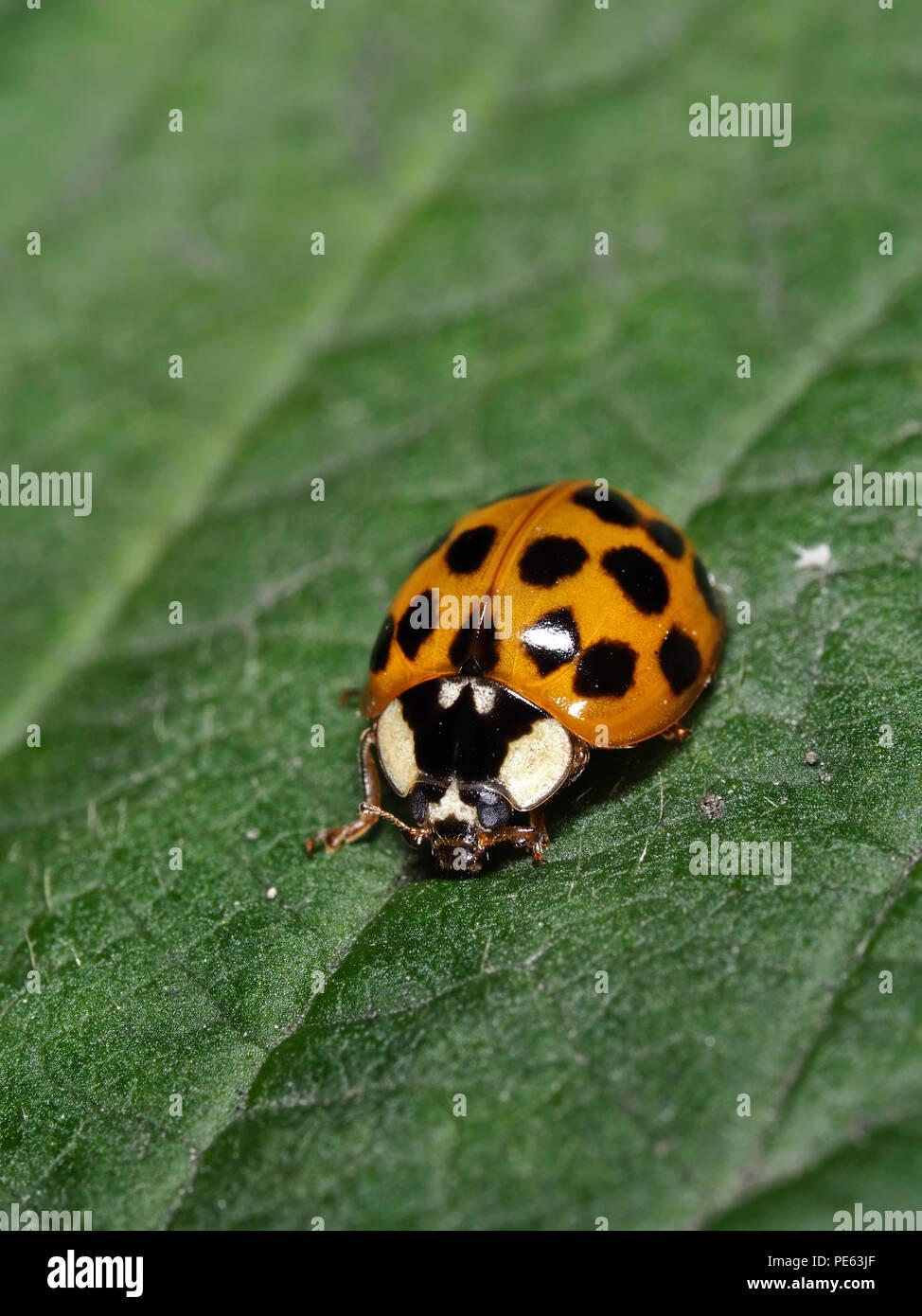 Asian ladybeetle - Harmonia axyridis Stock Photo