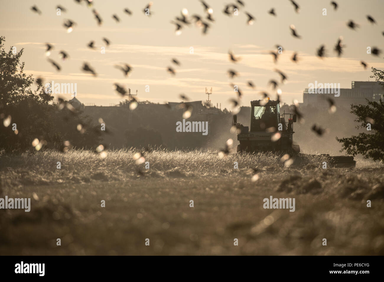 Berlin, Germany. 13th Aug, 2018. A combine harvester mowes a field on the Tempelhofer Feld, while a flock of birds rises into the air in front of the vehicle. Credit: Paul Zinken/dpa/Alamy Live News - Stock Image