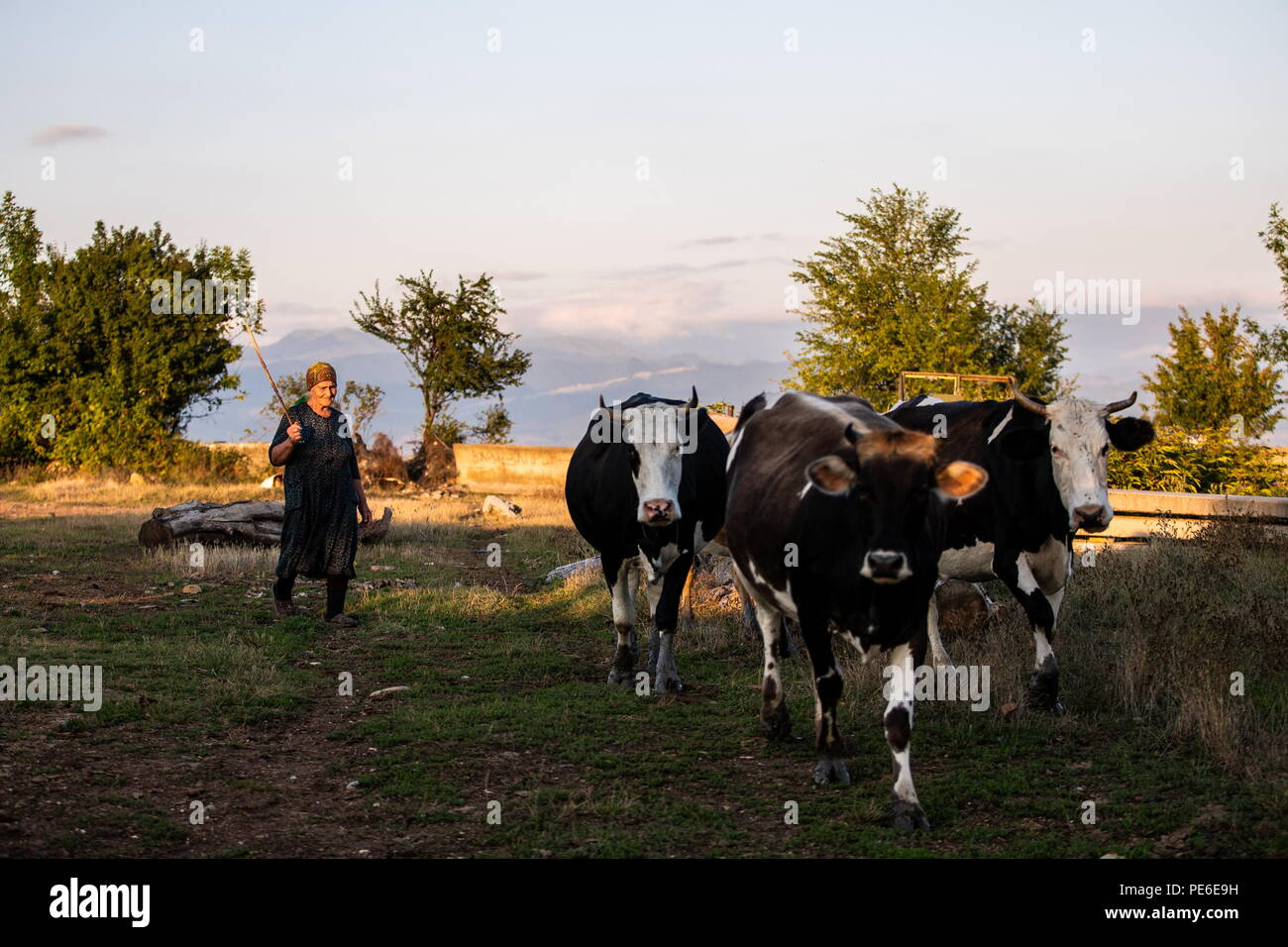 South Ossetia. 12th Aug, 2018. SOUTH OSSETIA - AUGUST 12, 2018: Margarita Madzigova, 63, grazes cows in the village of Khetagurovo, Tskhinvali District, South Ossetia; Margarita and her husband Alikhan have been running a farm since their house was restored after the 2008 South Ossetian-Georgian military conflict. Sergei Bobylev/TASS Credit: ITAR-TASS News Agency/Alamy Live News - Stock Image