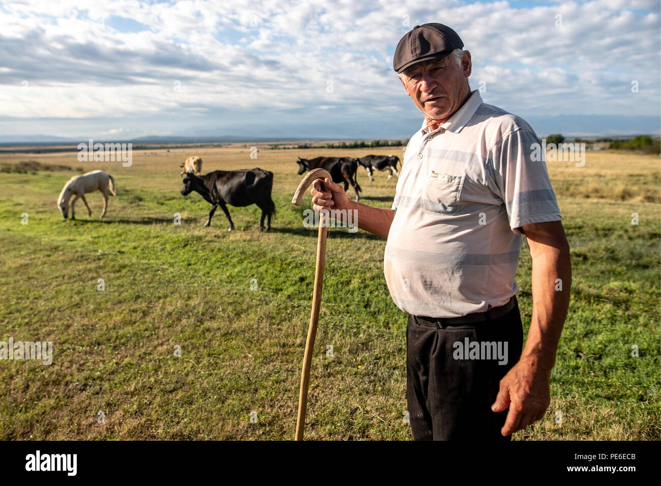 South Ossetia. 11th Aug, 2018. SOUTH OSSETIA - AUGUST 11, 2018: Alikhan Madzigov grazes cows in the village of Khetagurovo, Tskhinvali District, South Ossetia; Alikhan and his wife Margarita, 63, have been running a farm since their house was restored after the 2008 South Ossetian-Georgian military conflict. Sergei Bobylev/TASS Credit: ITAR-TASS News Agency/Alamy Live News - Stock Image