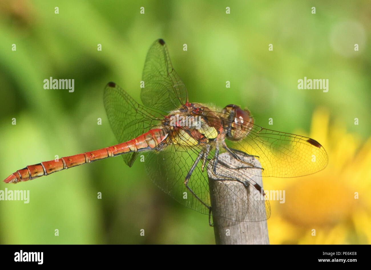 A male Common Darter dragonfly (Sympetrum striolatum) perches on a stick surveying its surroundings in a garden. Bedgebury Forest, Kent, UK Stock Photo