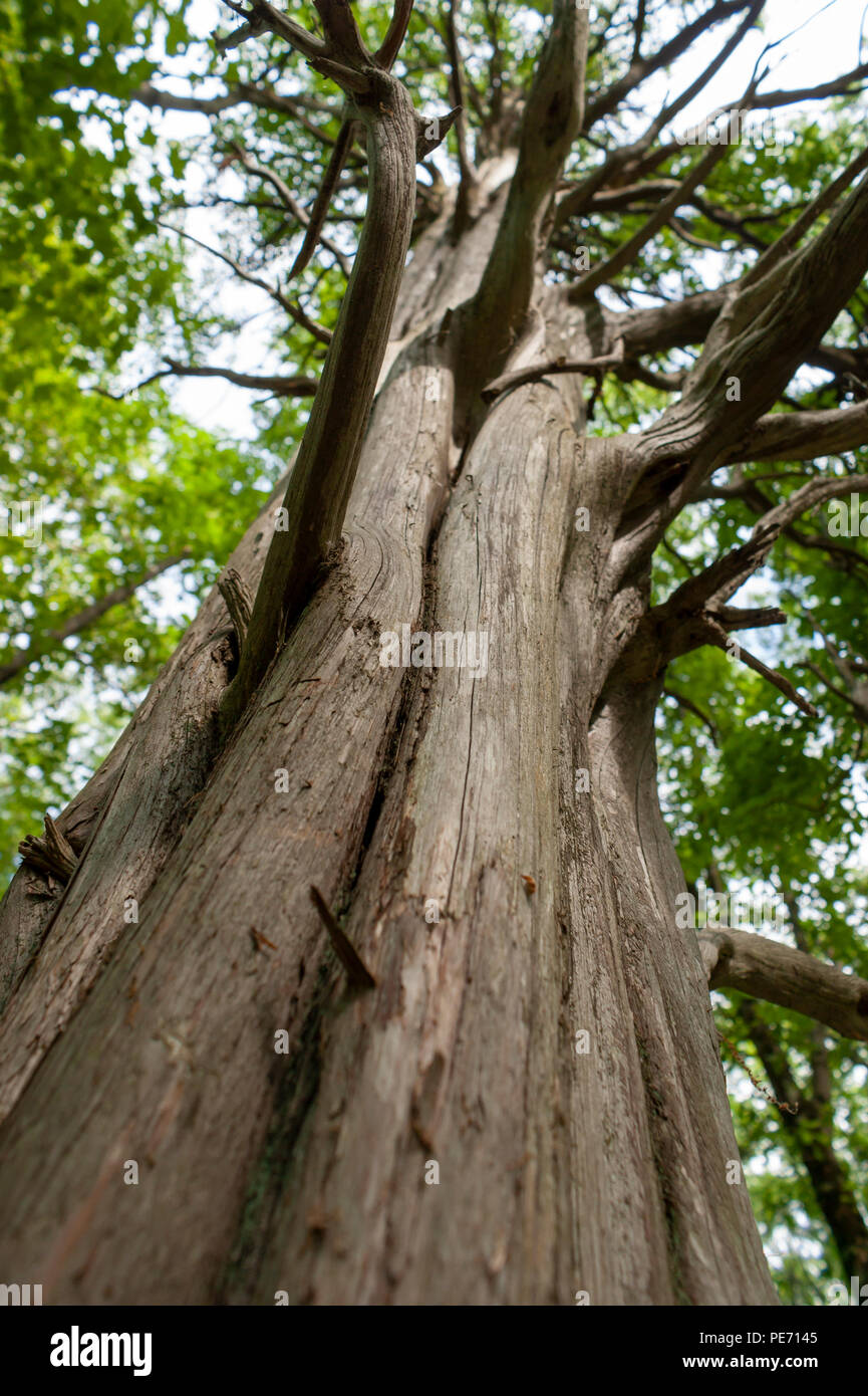 The columnar trunk of a dried redwood tree, with twisted branches extending out. Habitat Education Center and Wildlife Sanctuary, Belmont, MA, USA Stock Photo
