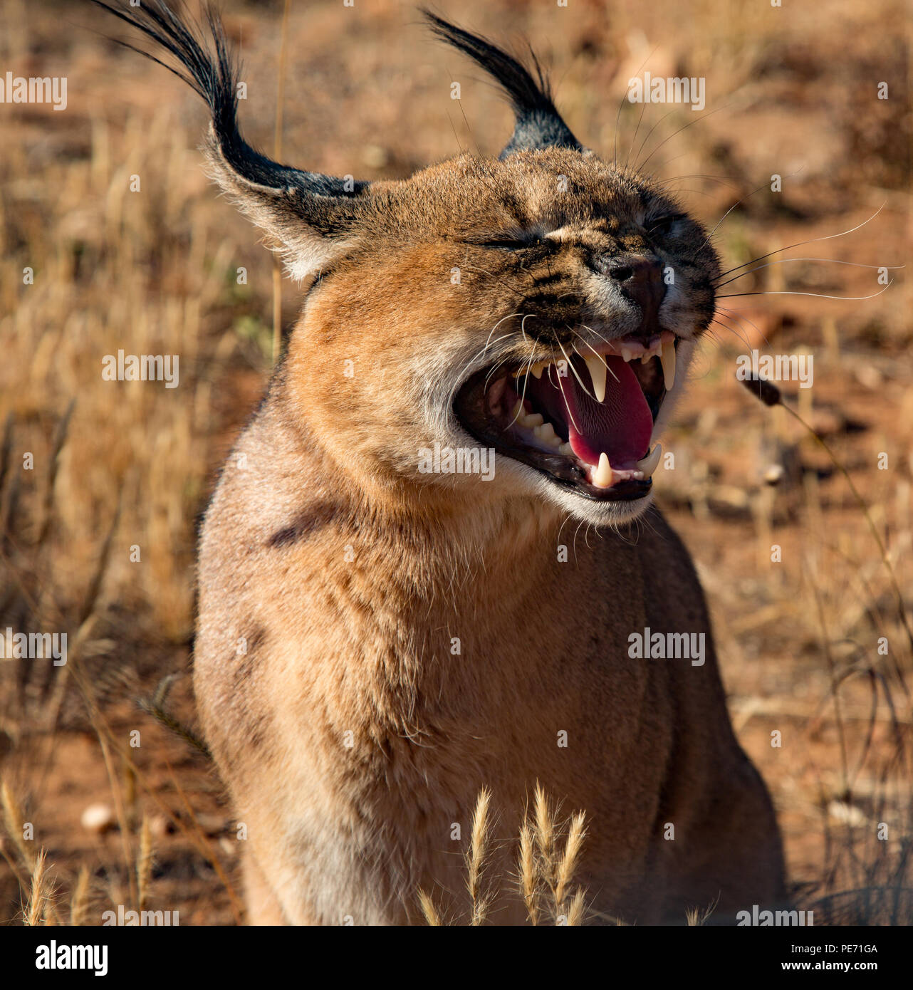 Caracal cat opens his mouth and snarls - Stock Image