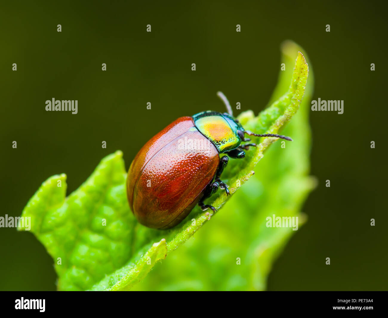 Chrysolina Coerulans Red Mint Leaf Beetle Insect Crawling on Green Leaf Macro - Stock Image