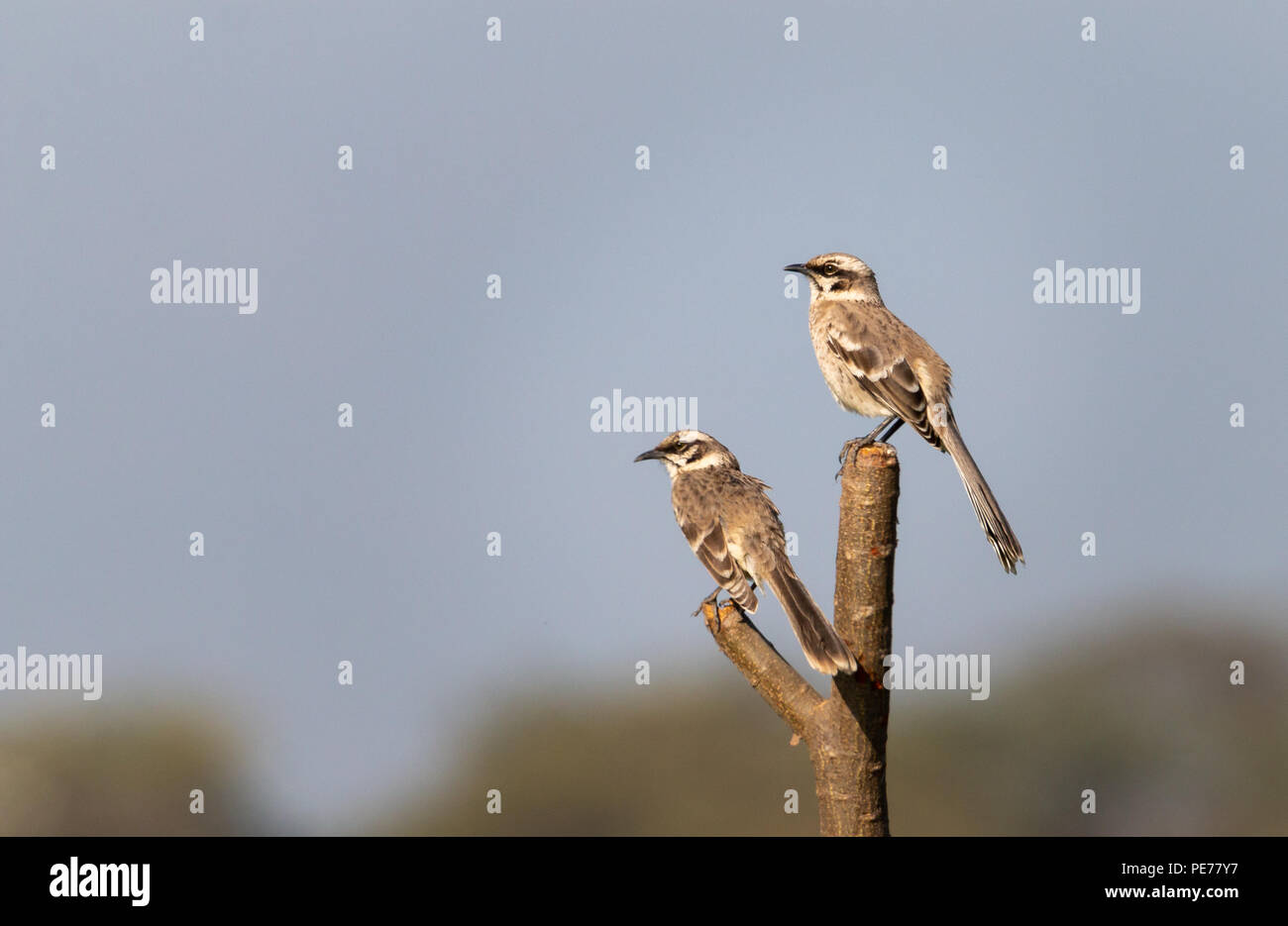 Long Tailed Mockingbirds On A Tree Branch