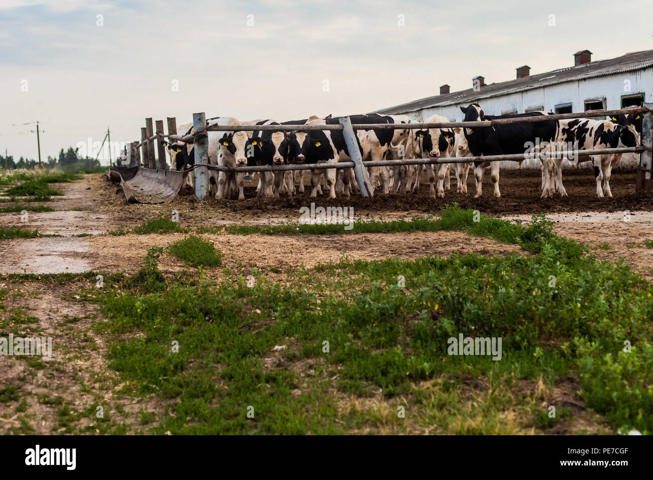Farm for breeding bull-calves in pen in summer. - Stock Image