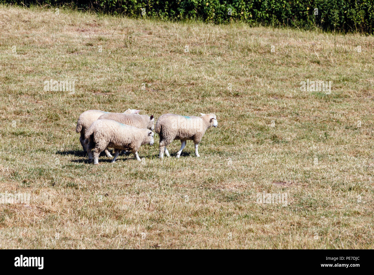 Four sheep in a recently mown summer meadowengland,english,britain,british - Stock Image