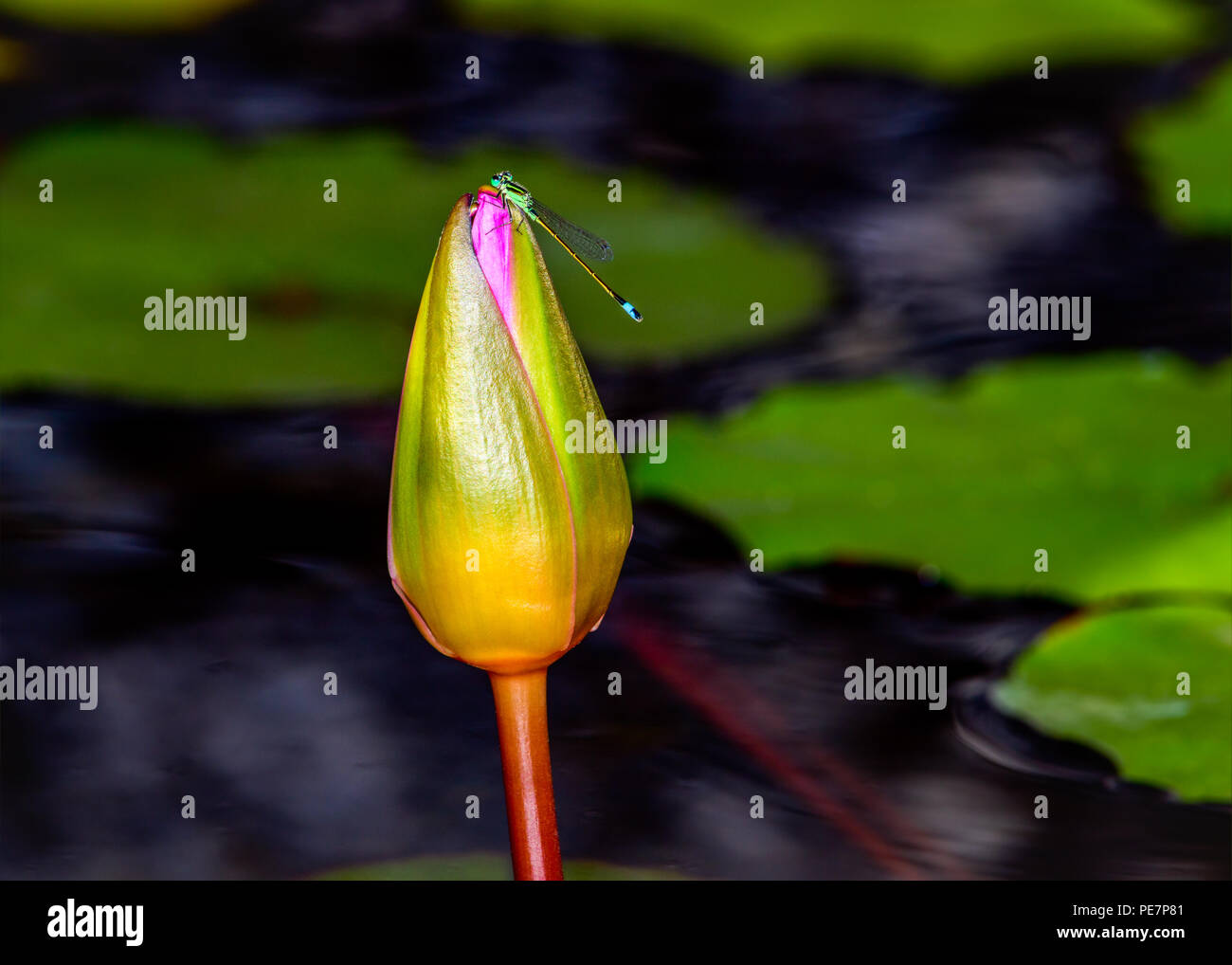 Damselfly resting on a pink lotus bud. Lily pads in the background. - Stock Image