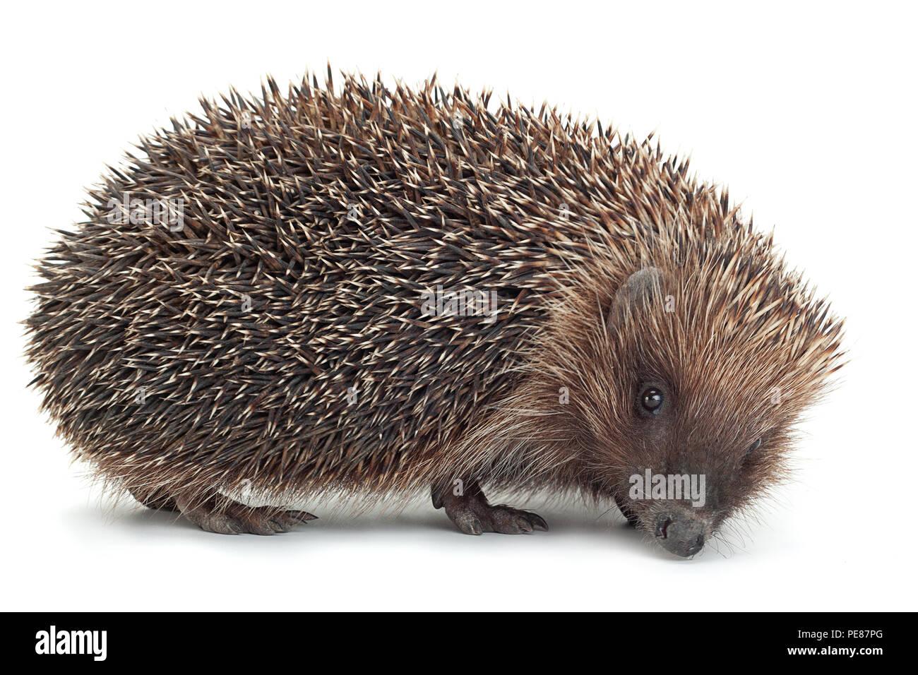 Hedgehog aniamal closeup isolated on white background - Stock Image