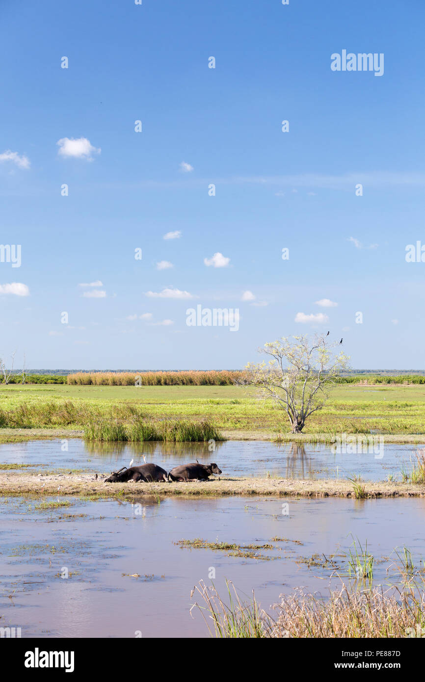 Water buffalos at Thale Noi Waterfowl Reserve Park in Phatthalung, Thailand - Stock Image