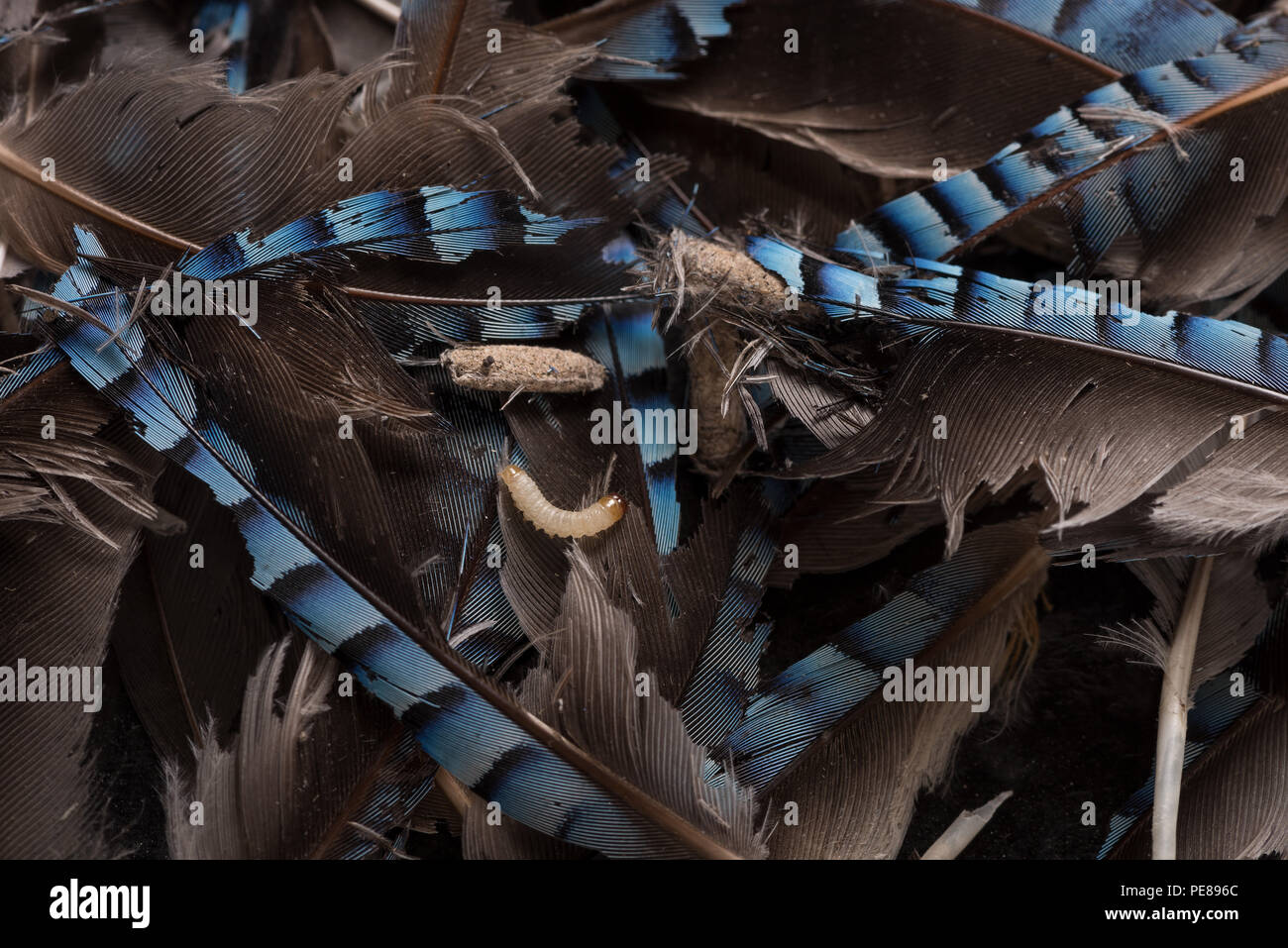 Jay feathers stored in house have been sought out as a source of protein, keratin by webbing clothes moth Tb, the resulting larvae destroyed feather - Stock Image