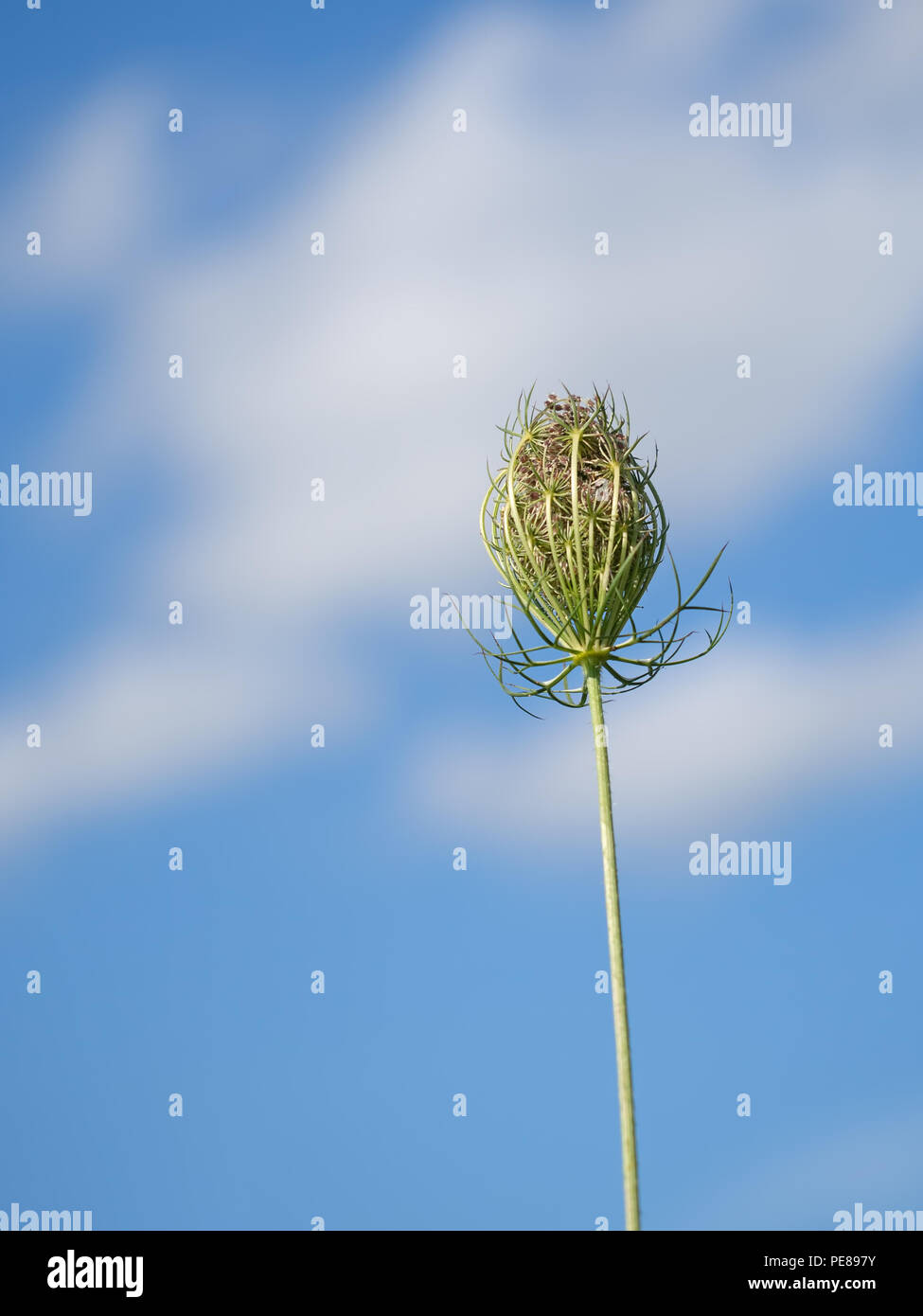 Wild carrot, Daucas carota seedhead, Aka Queen Anne's lace, Bishop's lace. - Stock Image