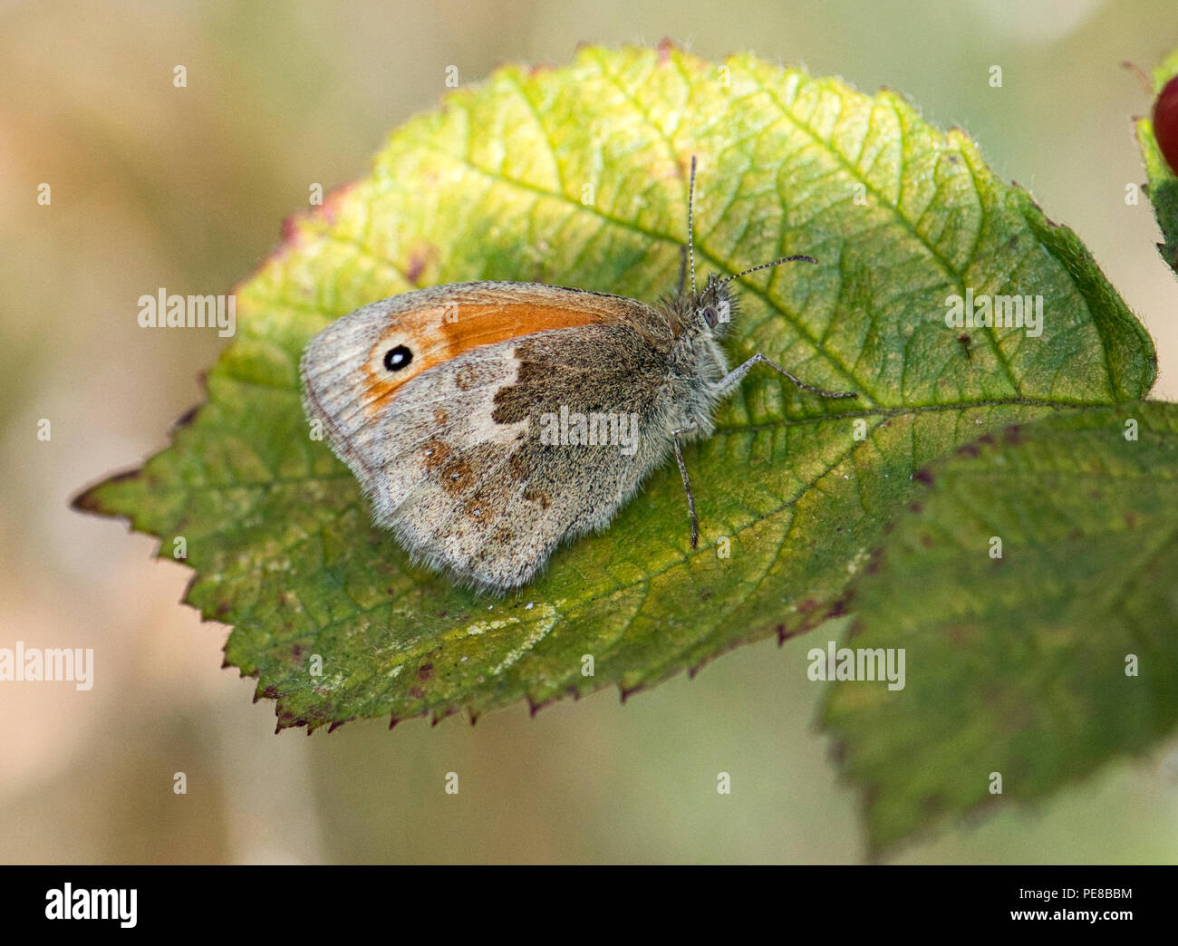 Small heath (Coenonympha pamphilus), underside of adult butterfly. - Stock Image