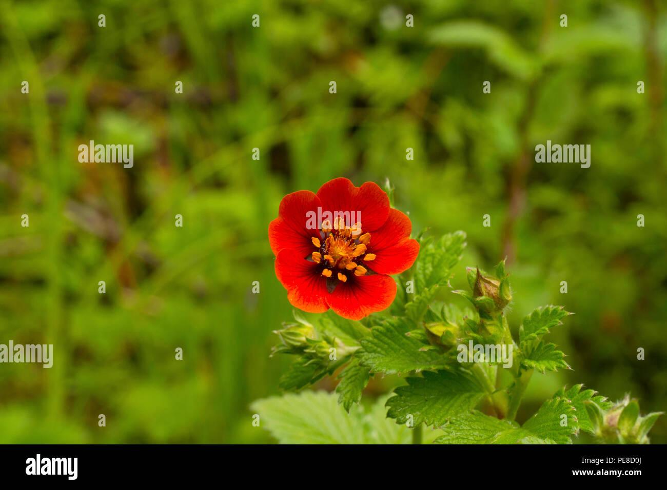 Himalayan Cinquefoil, Potentilla argyrophylla var. atrosanguinea, Hemkund Sahib, Uttarakhand, India - Stock Image