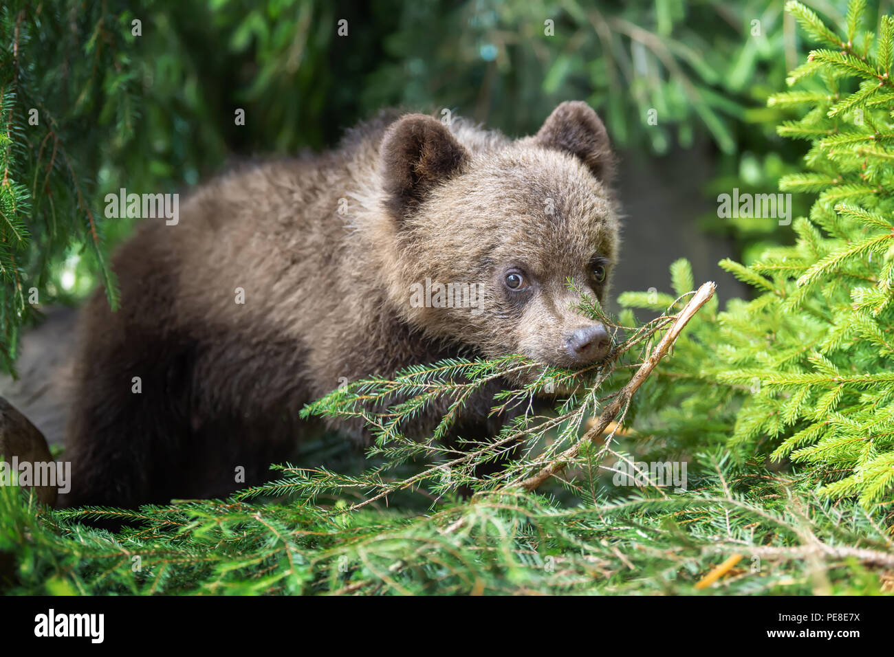 Young brown bear cub in the forest. Animal in the nature habitat - Stock Image
