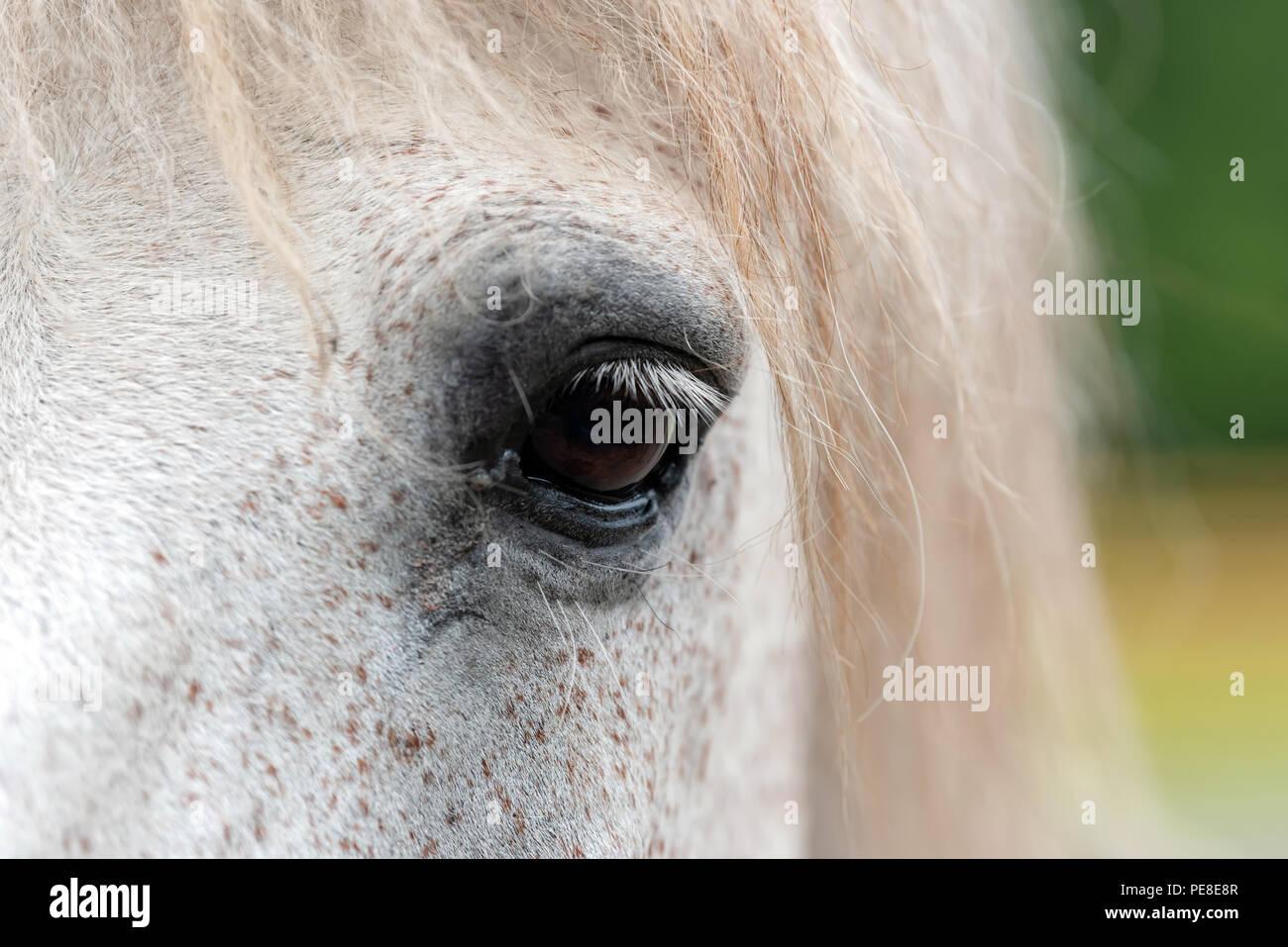 Close up white horse eye - Stock Image