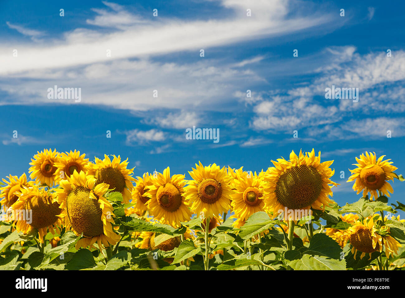 Sunflowers in the sun in a field of Burgos lands, Spain Stock Photo