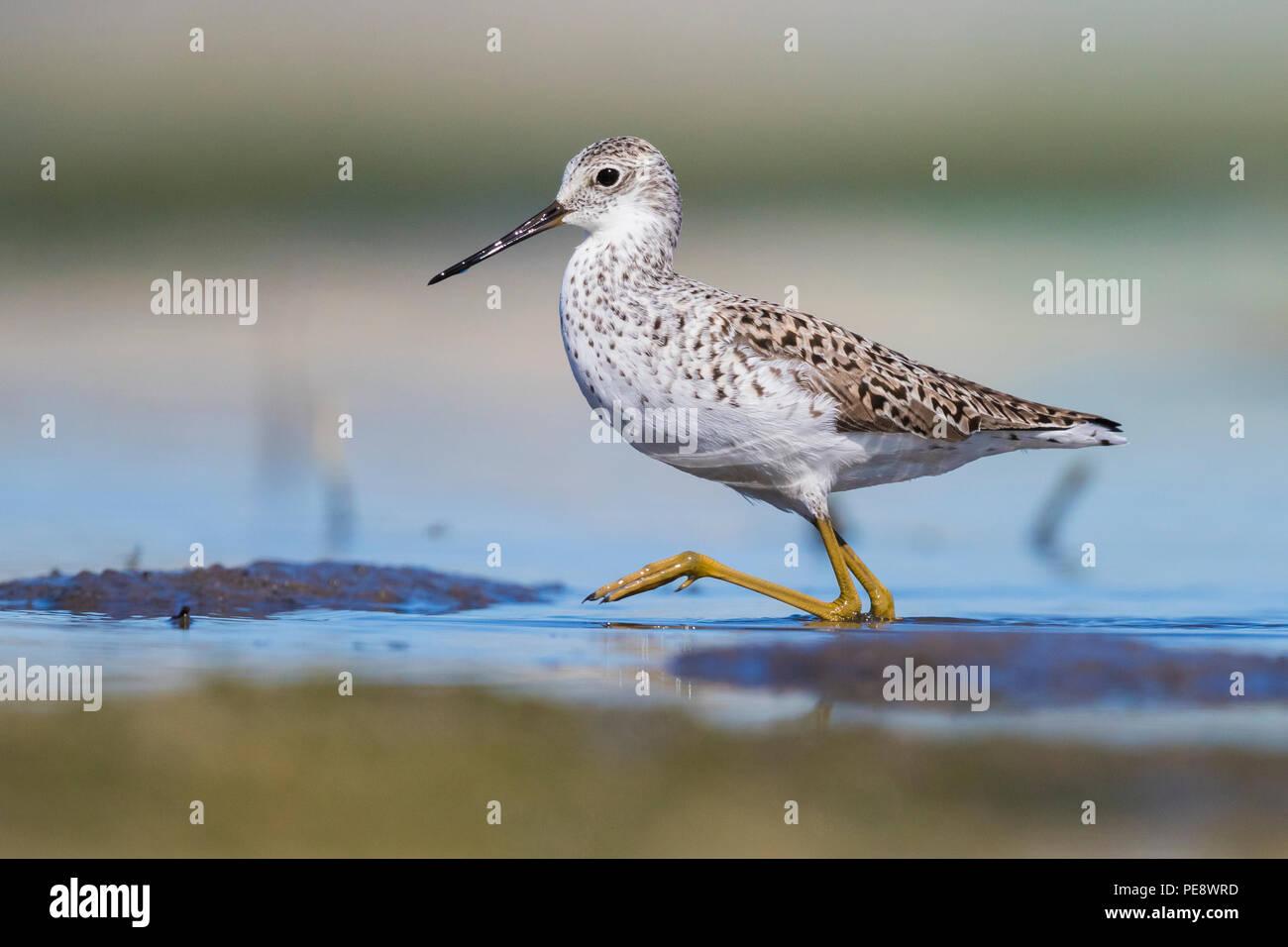 Marsh Sandpiper (Tringa stagnatilis), adult walking in a pond - Stock Image