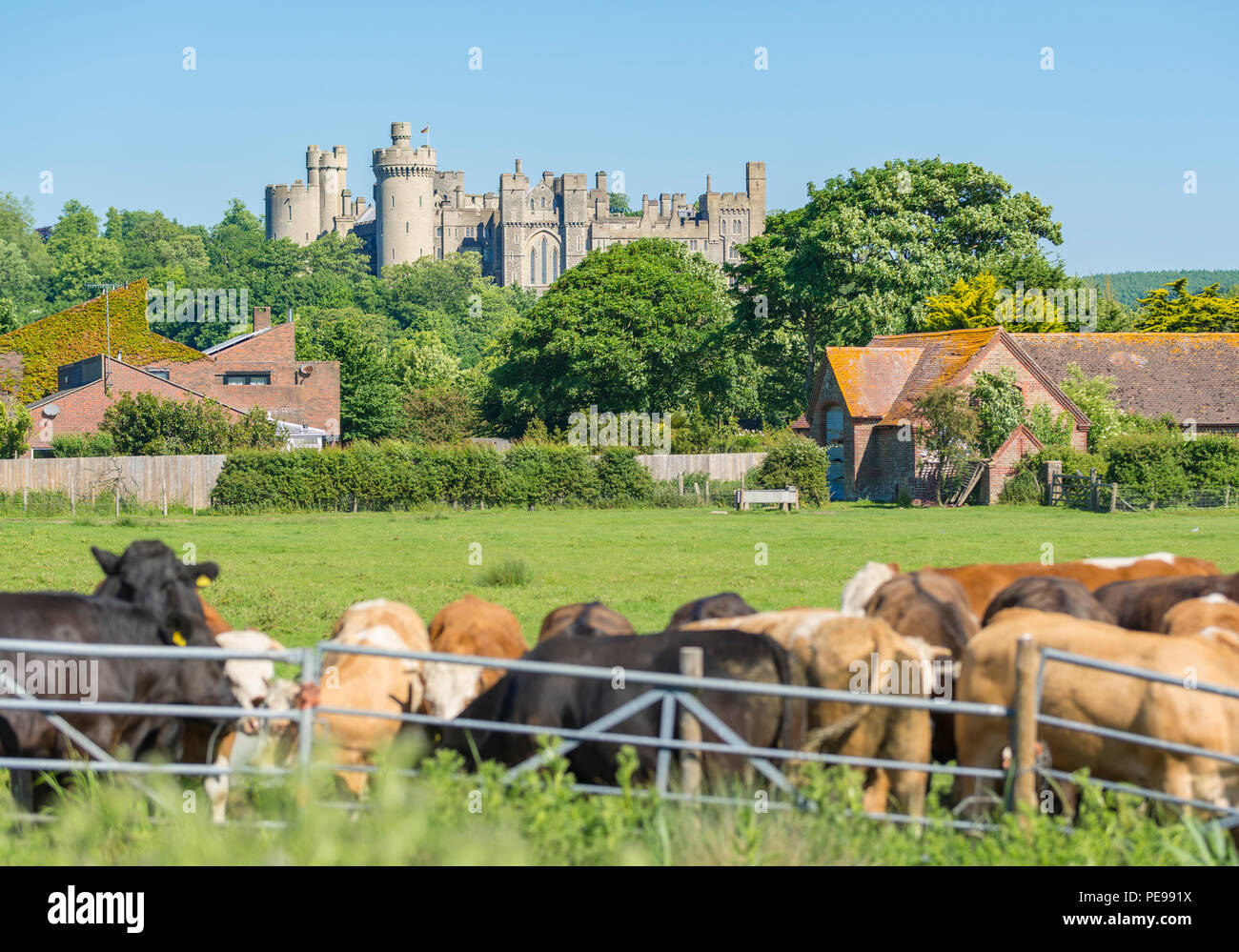 Arundel Castle in the UK countrside, from a cows field in the Arun Valley in Arundel, West Sussex, England, UK. British castle. Castle UK. - Stock Image