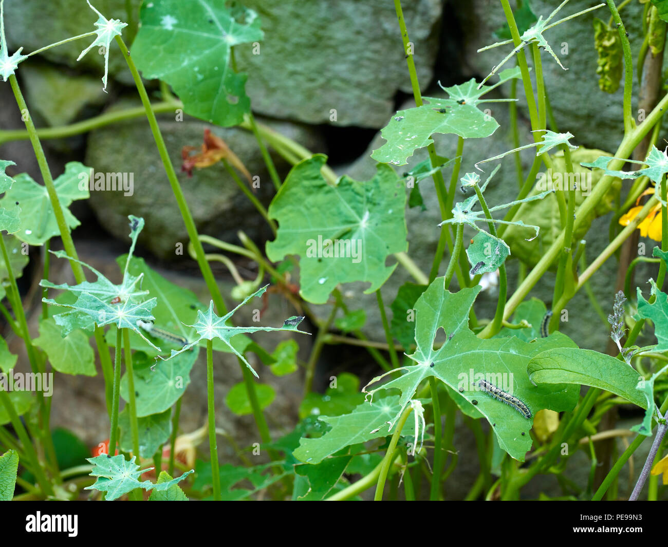 Devastated Nasturtium leaves with Cabbage white catterpillars feeding at Heather Cottage. Problems. gardenin (Phase One. P45+ with120mm and 55mm tube) - Stock Image