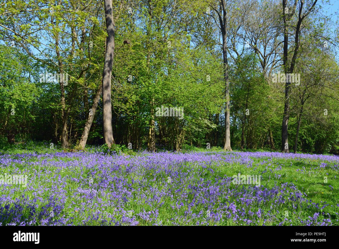 Bluebell Woods, Bredgar, Kent - Stock Image