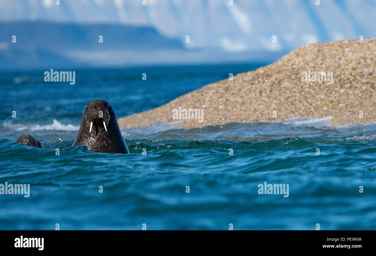 walrus coming to investigate the zodiak boat swimming out from land  and appearing in the artic sea around - Stock Image
