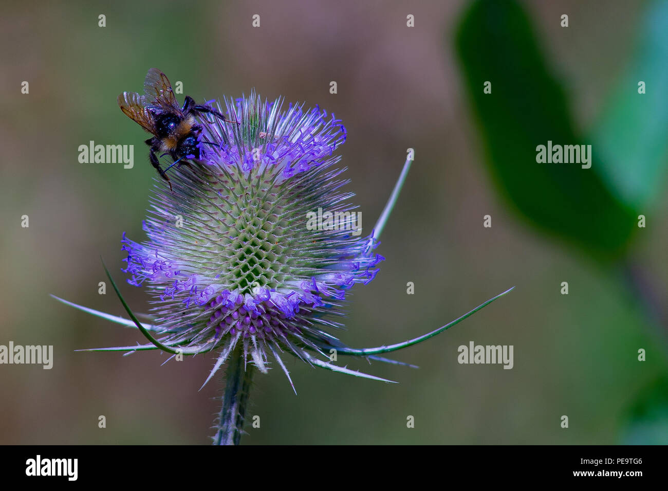 A bumblebee on a thistle - Stock Image