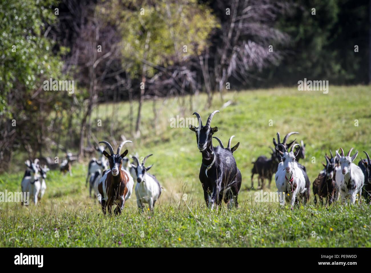 Mountain goats (Capra aegagrus hircus) - Stock Image