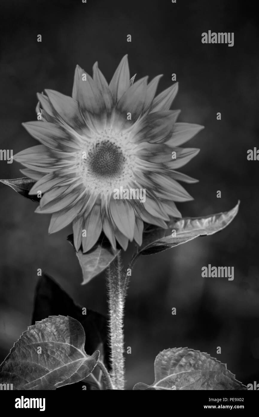 Concept Sunflower : Sunny flower - Stock Image