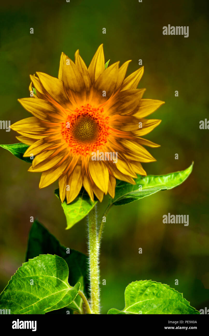 Concept sunflower : abstract sunflower - Stock Image