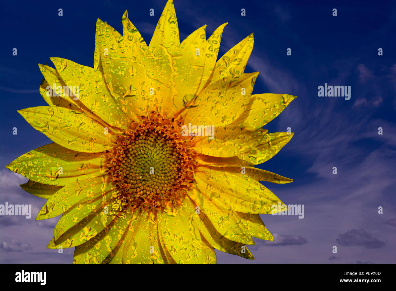 Concept sunflower : Sunlower with raindrops - Stock Image