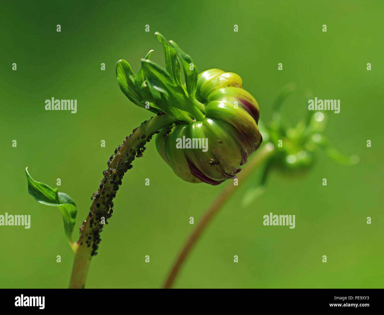 dahlia flower with pests in garden on green background - Stock Image