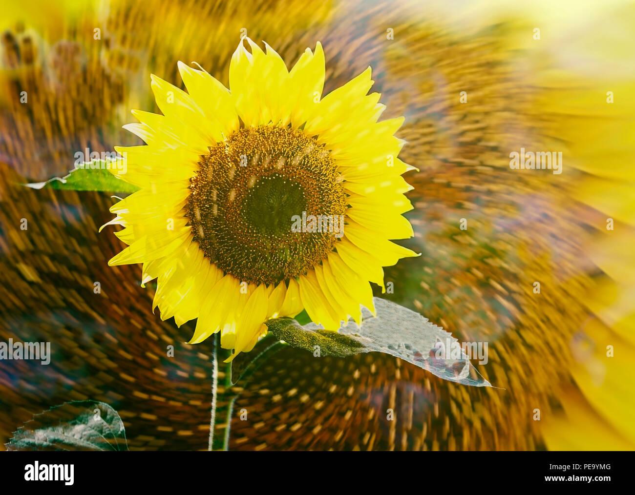 sunflower spinning Stock Photo