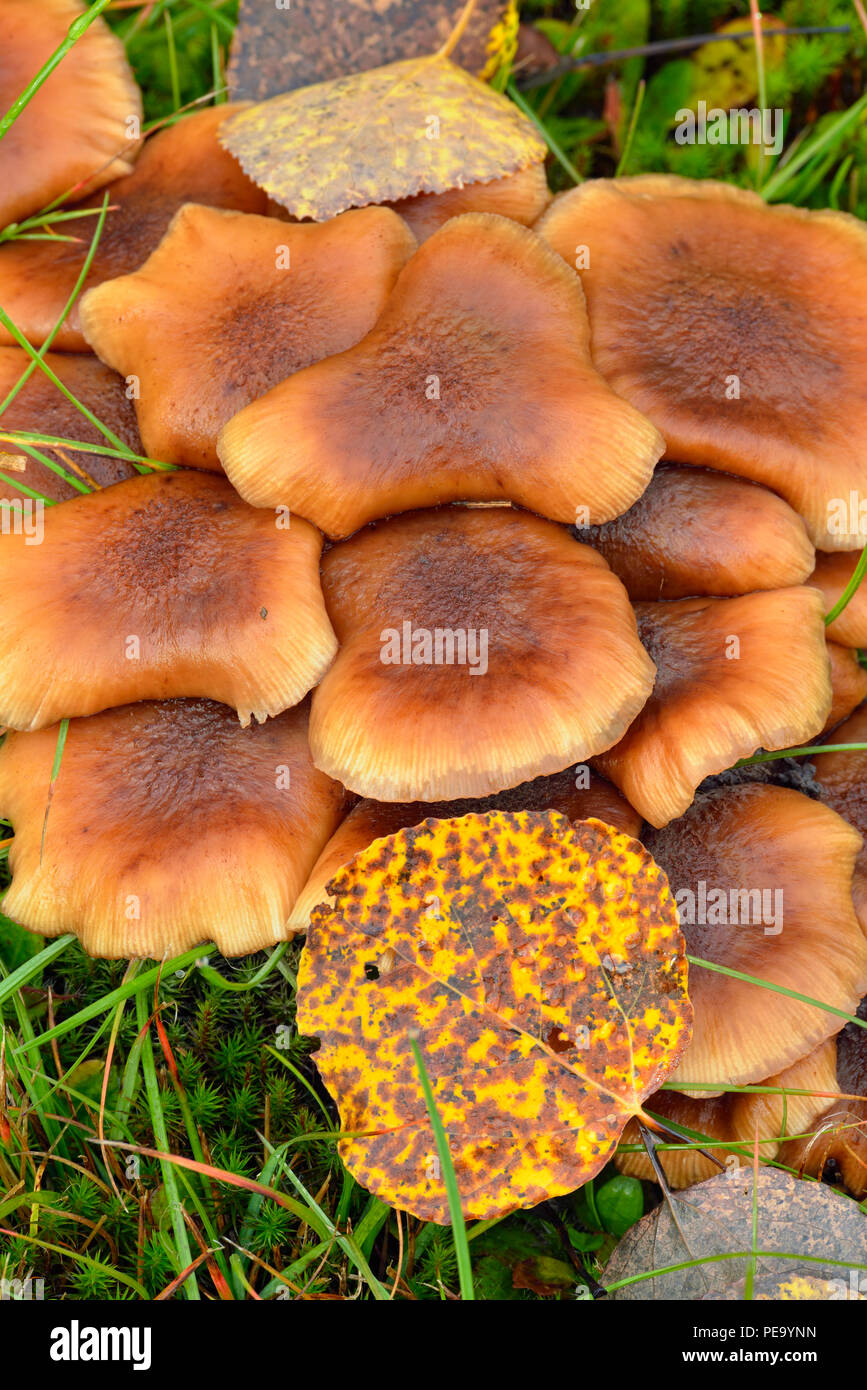 Honey mushroom (Armillaria spp) fruiting bodies, with aspen leaf, Greater Sudbury, Ontario, Canada - Stock Image