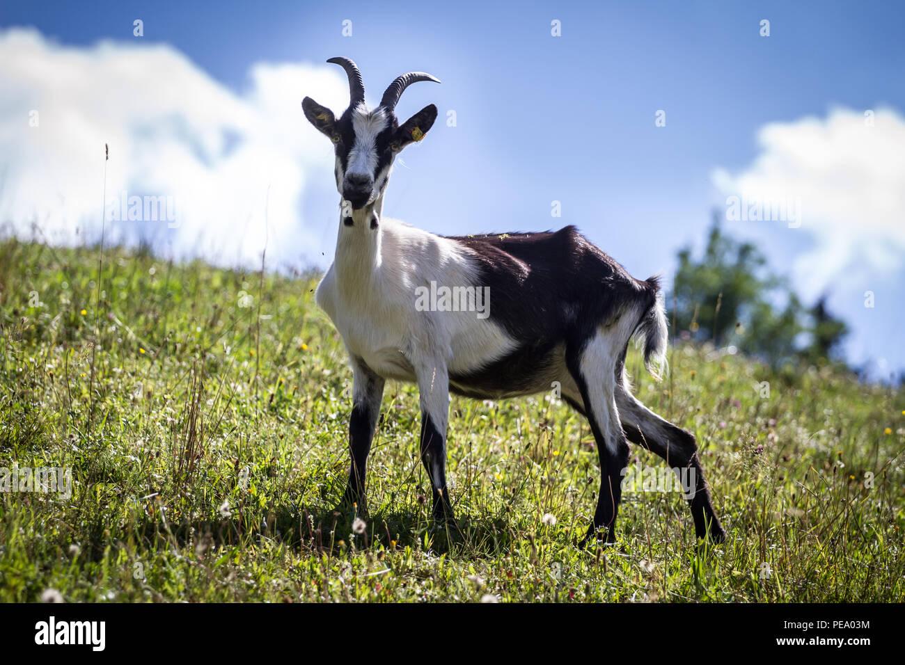 Peacock Goat,  Pfauenziege (Capra aegagrus hircus) - Stock Image