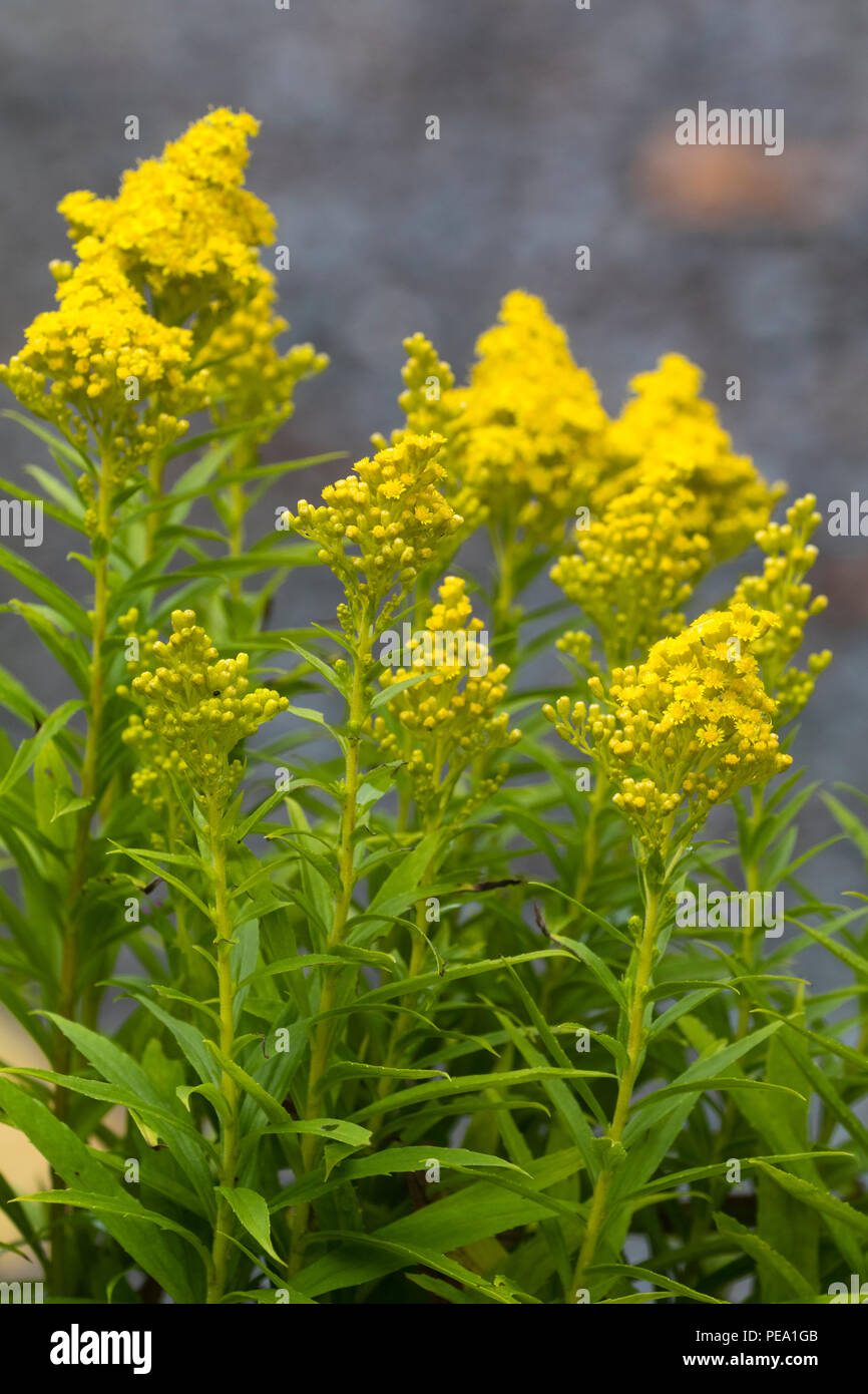 Yellow flowers in conical heads of the late summer blooming dwarf goldenrod, Solidago 'Little Lemon' Stock Photo