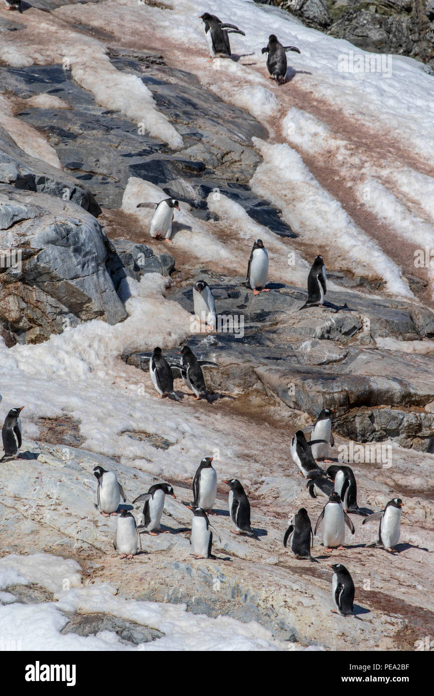 Large gentoo penguin rookery on the coast of Antarctica - Stock Image