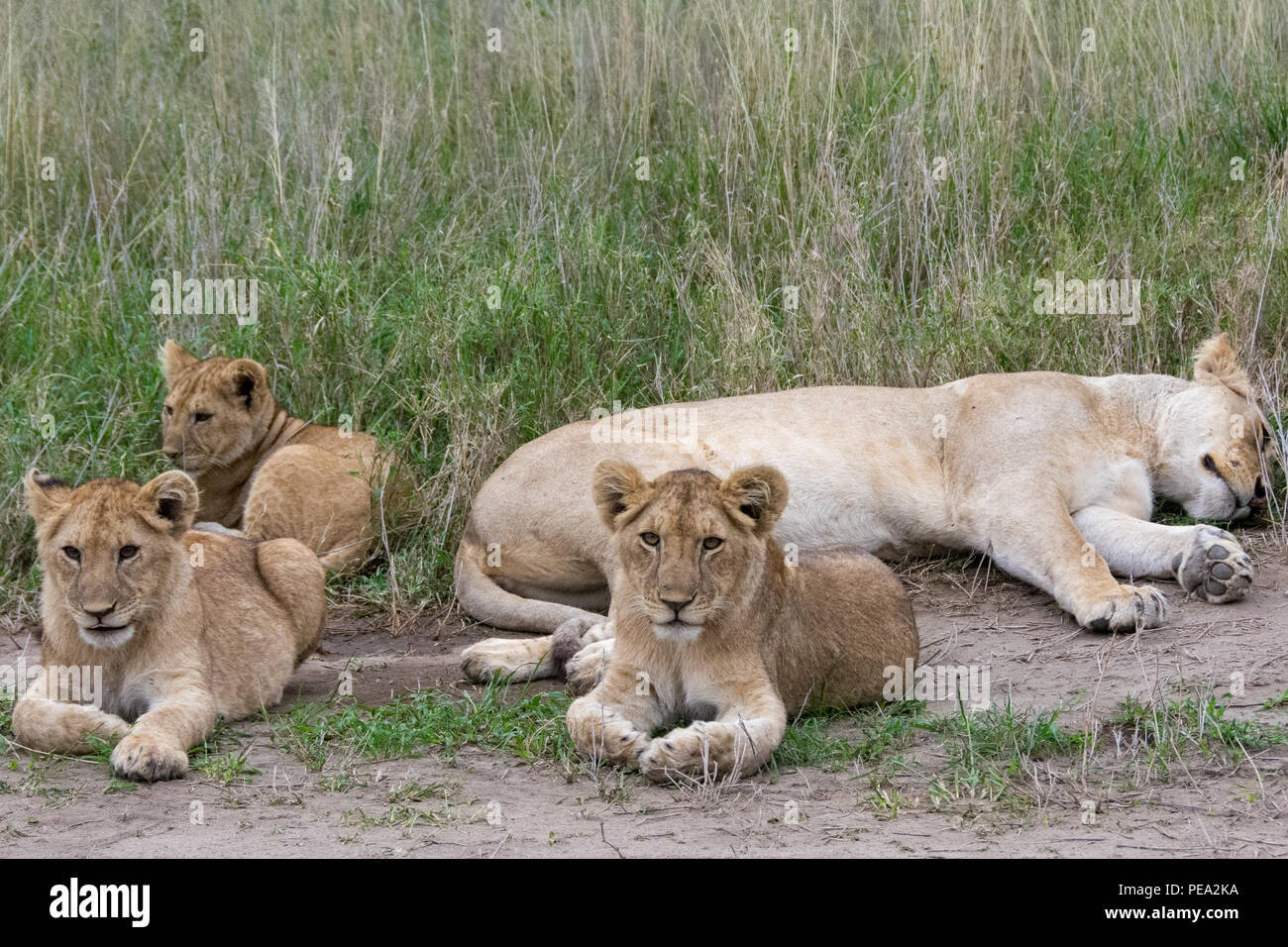 Two young cubs laying next to their mother in Serengeti NP, Tanzania Stock Photo