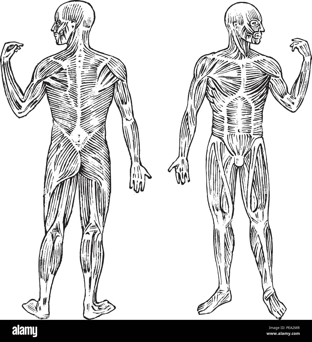 Human Anatomy Muscular And Bone System Male Body Vector