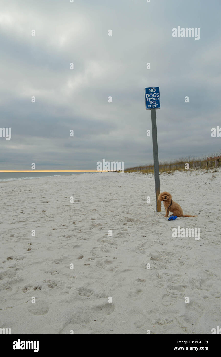 Obedient Cockapoo Dog Sits on Beach On Overcast Day At Official Dog Park Boundary - Stock Image