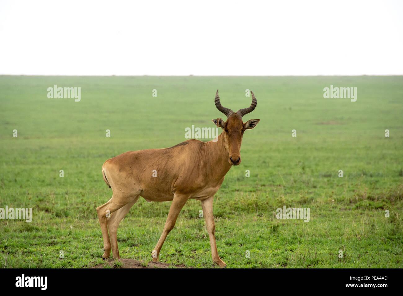 Topi grazing in the plains of Serengeti National Park, Tanzania - Stock Image