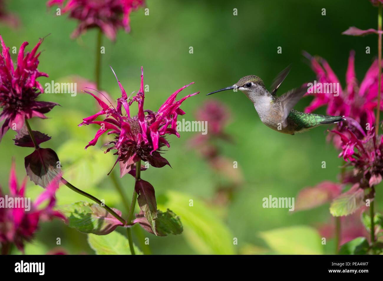 A Ruby-throated hummingbird flying near Bee Balm Flowers - Stock Image