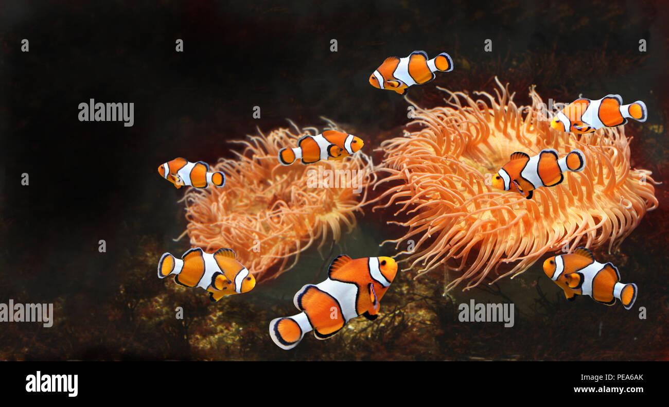 sea anemone and clown fish in marine aquarium isolated on black