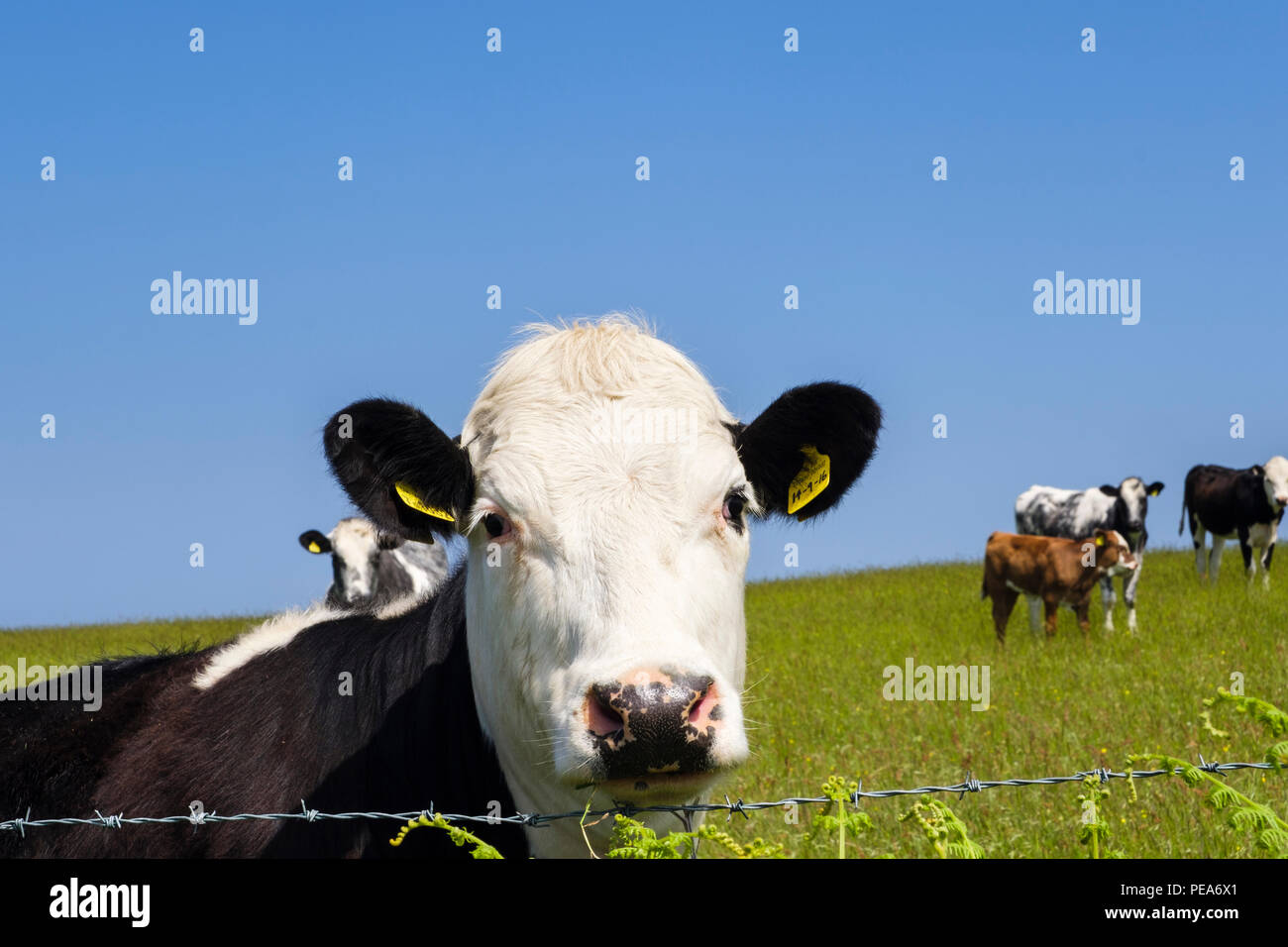 Inquisitive Black and white Freisian cow in a field of dairy cows looking over a barbed wire fence. Isle of Anglesey, Wales, UK, Britain - Stock Image