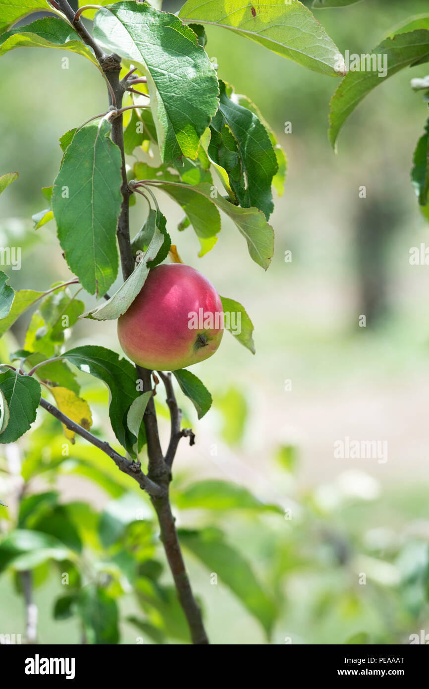 Malus domestica 'Harling hero. Apples on the tree in august. UK - Stock Image