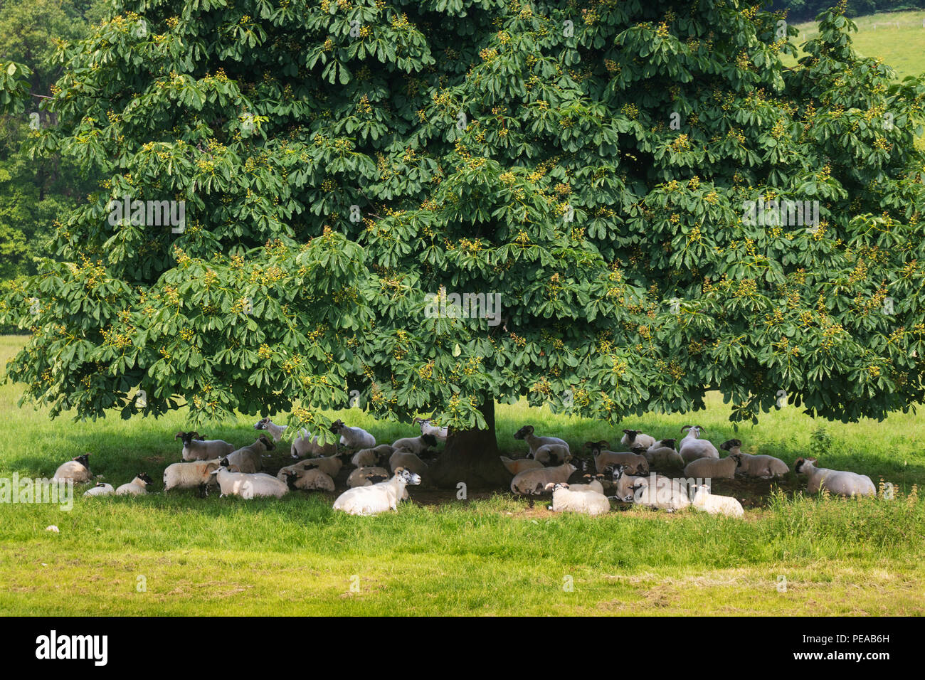 A flock of sheep sheltering under a tree on a hot day in Scotland. - Stock Image
