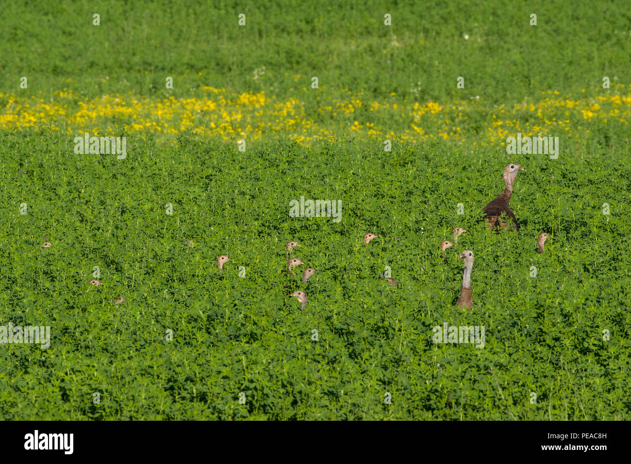 A flock of wild turkey (Meleagris gallopavo) young hiding in a field of alfalfa. - Stock Image
