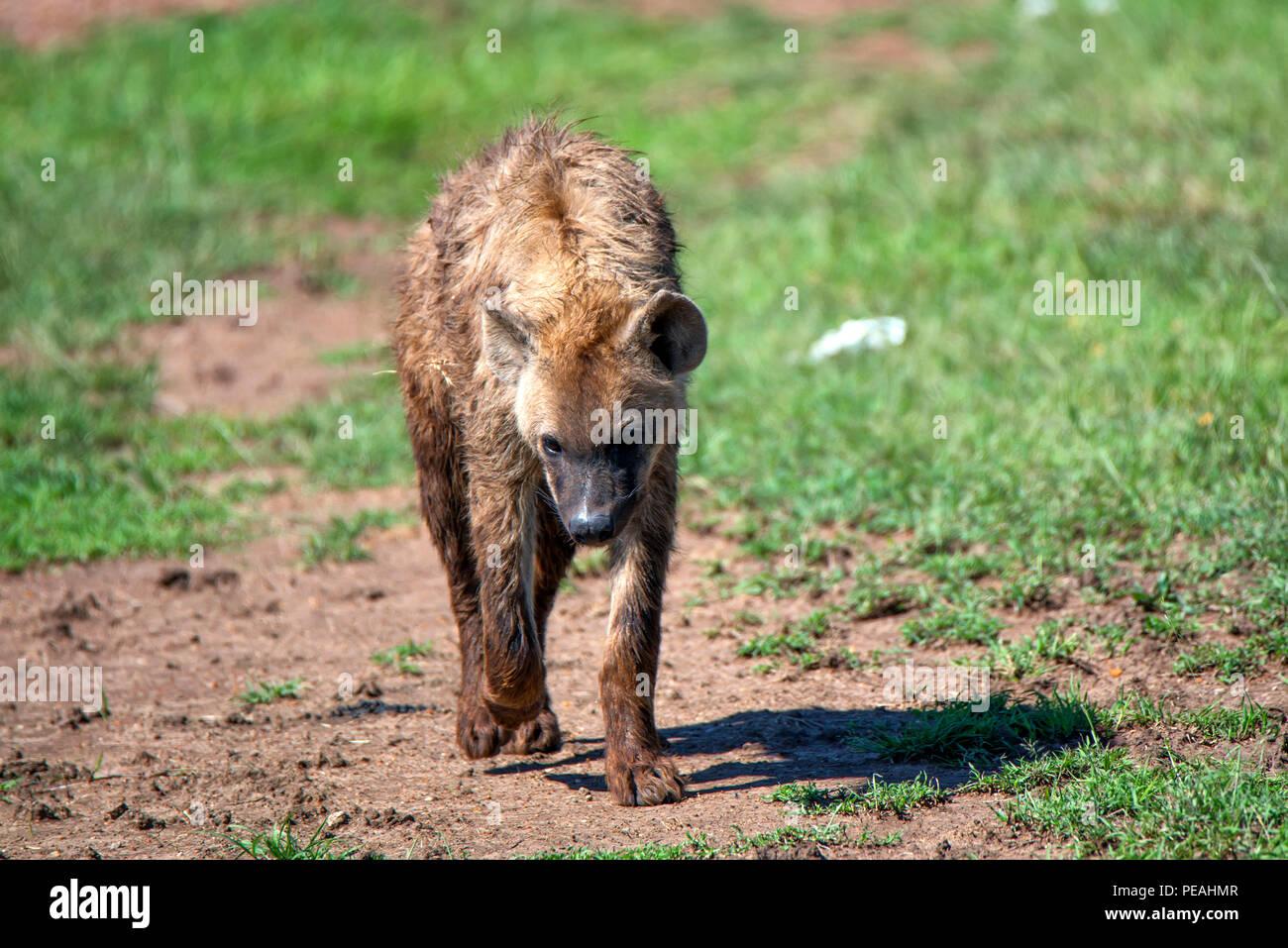 Spotted hyena or crocuta walks in savannah - Stock Image